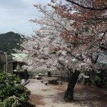 桜が満開で見頃の宮島でお花見してきたよ!!