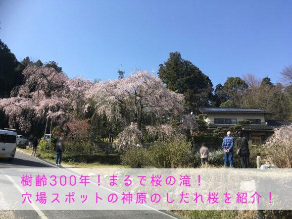 佐伯区で見れる樹齢300年の桜の滝!穴場スポットの神原のしだれ桜を紹介!